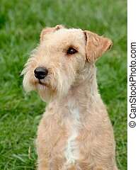 Lakeland Terrier - Portrait of Lakeland Terrier in the...