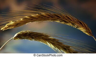 Wheat - Close-up of wheat on sky background