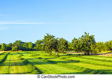 beautiful typical speierling apple tree in meadow for the...