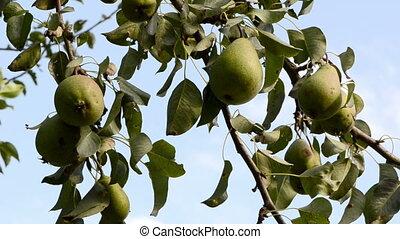 pear tree fruit wind