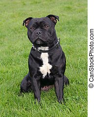 Staffordshire Bull Terrier - The portrait of Staffordshire...