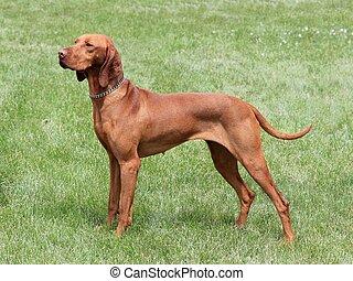 Hungarian Vizsla dog - HungarianShort-haired Pointing Dog on...