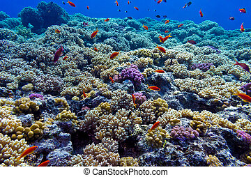 colorful coral reef with hard corals on the bottom of red sea - underwater photo