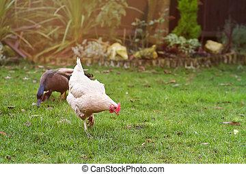 sussex white chicken in the garden