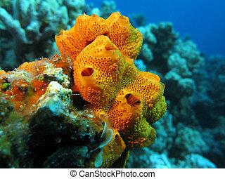 hermoso, grande, arrecife, fondo, coral, esponja, mar,...
