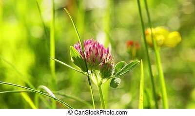 pink clover in the meadow