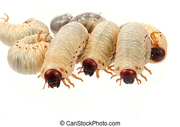 cockchafer - For some peoples it is good meal
