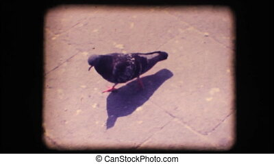 Vintage 8mm. Pigeon walking