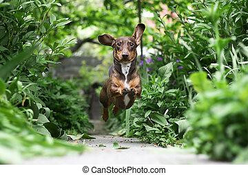Running Dachshund - Little Dachshund puppy running in the...