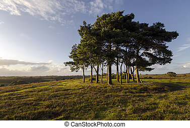 Clump of Scots Pine Trees - Robin hoods clump a group of...