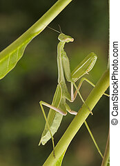Praying Mantis against a green background with narrow depth...