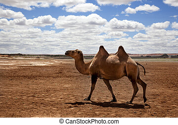 camel in the Gobi Desert - a camel walking through the...