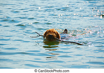 swimming dog with stick