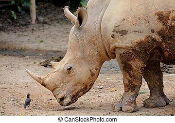 rhino and small bird