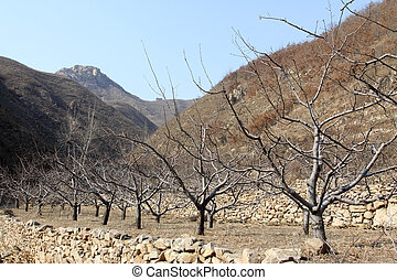 peach trees - mountain scenery in winter, peach trees, north...