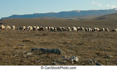 Sheeps Grazing On Mountain Plateau