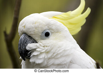 enxofre, crested, cockatoo