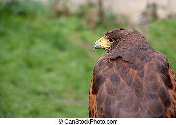 Eagle, profile view