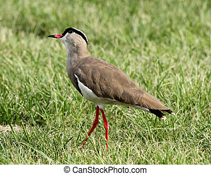 Crowned Plover Lapwing Bird Wary - Bright Eyed Crowned...