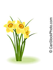 Spring Flowers Yellow narcissus on white background with...
