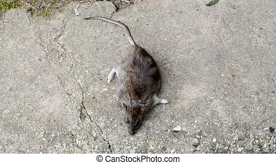 hand take dead rat - hand take dead big rat tail lying on...