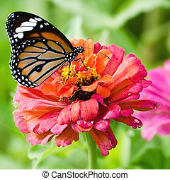 Monarch butterfly on Zinnia flower - Monarch butterfly on...