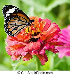 Monarch butterfly on Zinnia flower - Monarch butterfly on...