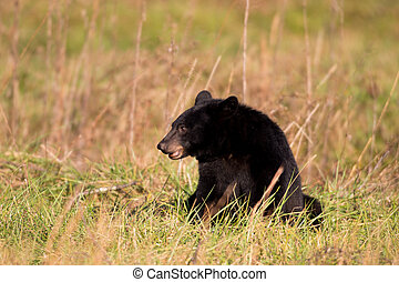 Large black bear feeding on nuts in an open meadow in Smoky...