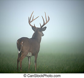 Large white-tailed deer buck - Large whitetailed deer buck...