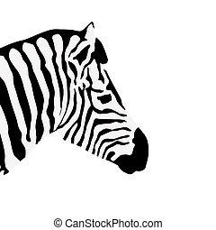 Zebra on white, vector illustration
