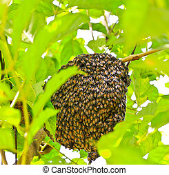 bees on honeycomb - Beehive hangs from a tree