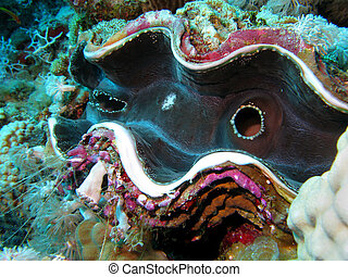 coral reef with giant clam - Tridacna gigas