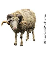 Sheep, carnero, cuernos, aislado, encima, blanco
