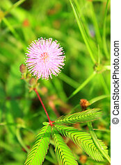 mimosa, riso, campo