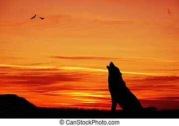 Wolf at sunset - Wolf howling at sunset