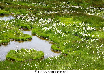 Cotton grass in everglade, Kusatsu Gunma Japan