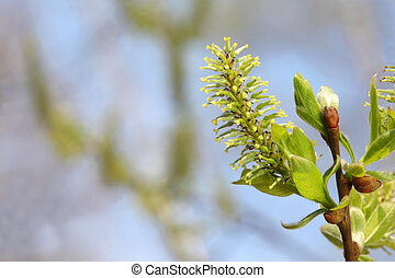 green new leaflets and blossom on brown branch of...
