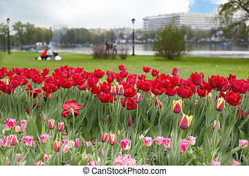 Lawn with red, reddish-yellow and rose-white tulips, Ostankino pond and buildings in the background out of focus