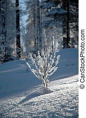 Snow covered plant - Snow covered, frozen plant at winter in...