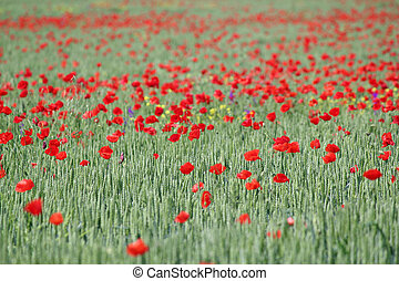 green wheat and red poppy flowers field