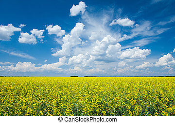 Flowering canola or rapeseed field - Wide angle view of a...