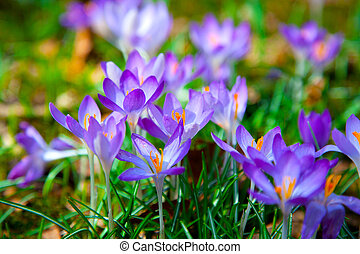 Spring purple crocus flowers