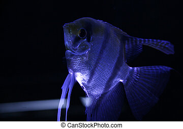 Scalar fish at night - Mystical photo of scalar fish at...