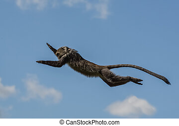 Monkey leaping in the air - A small dark colored monkey...