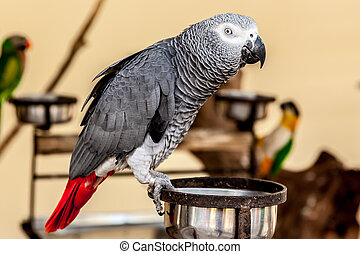 Gray macaw with red tail on bowl - Gray macaw with red tail...