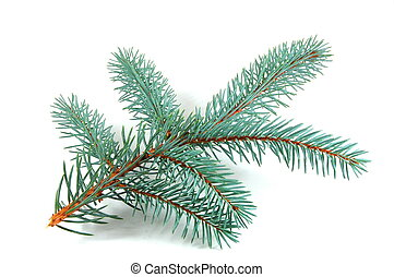 branch - Fir branch isolated on a white background
