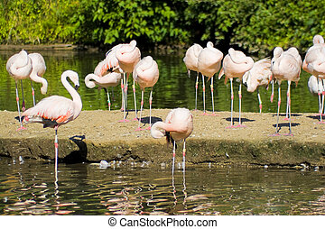 Flamingo Birds - A group of pink flamingo birds in the...