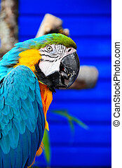 Blue-and-yellow Macaw parrot - A Blue-and-yellow Macaw...