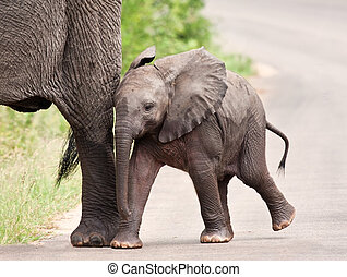 Young elephant walking with his mother and the rest of the...