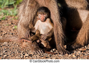 Baby baboon sitting against his mother in the early morning...